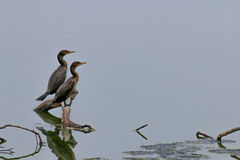 The Double-Crested Cormorant on the Water at Malibu Beach in Aug. Ust Stock Image