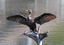 Double-Crested Cormorant Stock Photo