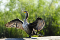 Double Crested Cormorant. A Double Crested Cormorant with wings spread drying off Royalty Free Stock Images