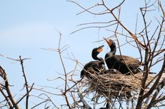 Double-crested cormorants Royalty Free Stock Photo
