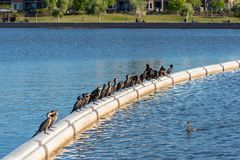 Double-crested Cormorants on Boom stock photography