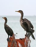 Double-crested cormorants of Clearwater,Florida Stock Image