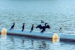 Double-Crested Cormorants stock photography