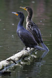 Double-Crested Cormorants Pair Stock Photo