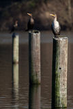 Double Crested Cormorants. Sitting on Pilings in an inland lake Stock Photography