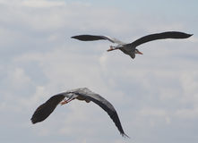 Double décollage de héron Image libre de droits