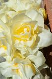 Double Daffodil Narcissus White and Yellow bouquet portrait Royalty Free Stock Image