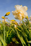 Double Daffodils Royalty Free Stock Photography