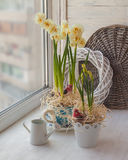 Double daffodils in a vintage pot  and watering Stock Photo