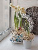 Double daffodils in a vintage pot  on the window Stock Image