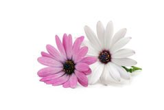 Double Daisy. Pink and white daisies isolated on a white background Royalty Free Stock Photo