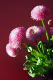 Double daisy flower. Pink double daisy (bellis perennis) in spring Stock Images