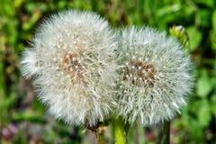 Double dandelion Taraxacum officinale royalty free stock photos
