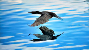 A Double Dare. Cormorant flying very low above the gorgeous beautiful waters.  Its reflection is just amazing Stock Photography