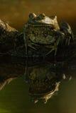 Double de grenouille mugissante Images libres de droits