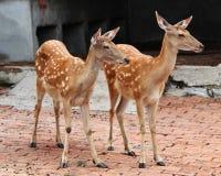 Double Deer Stock Photography