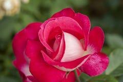 China rose rosa chinensis jacq flower Royalty Free Stock Photo