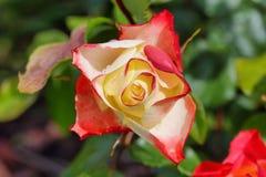 Double Delight Hybrid Tea Rose Stock Image