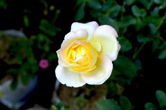 Double Delight Rose Royalty Free Stock Photo