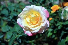 Double Delight Rose Stock Image