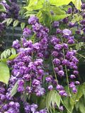 Double dragon wisteria flower Royalty Free Stock Photo