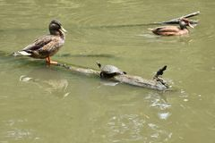 Double Duck Turtle Royalty Free Stock Image