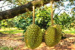 Double durian Photographie stock libre de droits