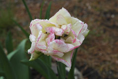 Double early pink tulip blossom after rain. Stock Images