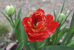 Double early red tulip blossom. Royalty Free Stock Photography