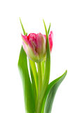 Double early tulip isolated Royalty Free Stock Images