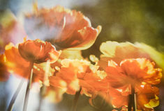 Double exposure. Bright orange yellow tulips in the field. On the blurred background. Beautiful spring flowers. warm filter Stock Images