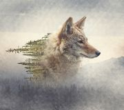 Double exposure of coyote portrait and pine forest. On the mountain royalty free stock photos