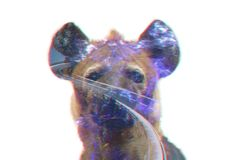 Double exposure, 3D. Hyaena is not only a cannibal. Double exposure hyaena with highway and forest isolated on white background Royalty Free Stock Image