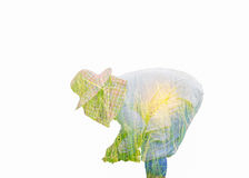 Double exposure of farmer is transplanting rice  with rice field Stock Photos