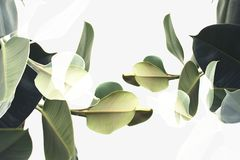 double exposure of green ficus plants, royalty free stock photography