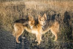 Double Exposure of a Husky Colley dog Stock Images