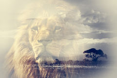 Double exposure of lion and Mount Kilimanjaro savanna landscape. Royalty Free Stock Image