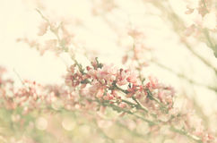 Double exposure of Spring Cherry blossoms tree. abstract background. dreamy concept with glitter overlay Royalty Free Stock Image
