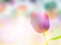 Double Exposure Of Tulip And Bloom Field Stock Image