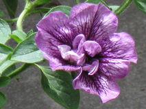 Double fin pourpre de pétunia  Photographie stock