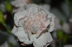 Double fin rose d'oeillet  photographie stock