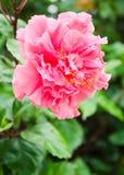 Double fleur de ketmie Images libres de droits