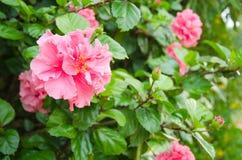 Double fleur de ketmie Photos libres de droits