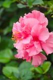 Double fleur de ketmie Photo stock