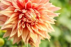 Double fleur orange de dahlia images stock