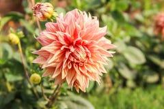Double fleur orange de dahlia images libres de droits