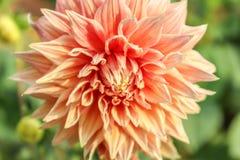 Double fleur orange de dahlia photo libre de droits