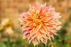 Double fleur orange de dahlia photographie stock