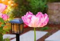 Double fleur rose Tulip Fringed Flower image stock