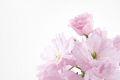 Double-flowered cherry blossom. On white background Royalty Free Stock Photos